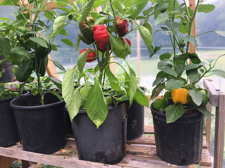 growing pepper in container