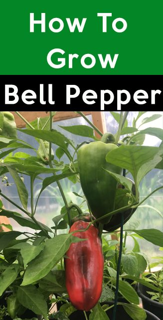 how to grow bell pepper