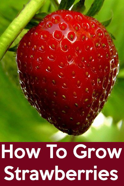 How to grow strawberry