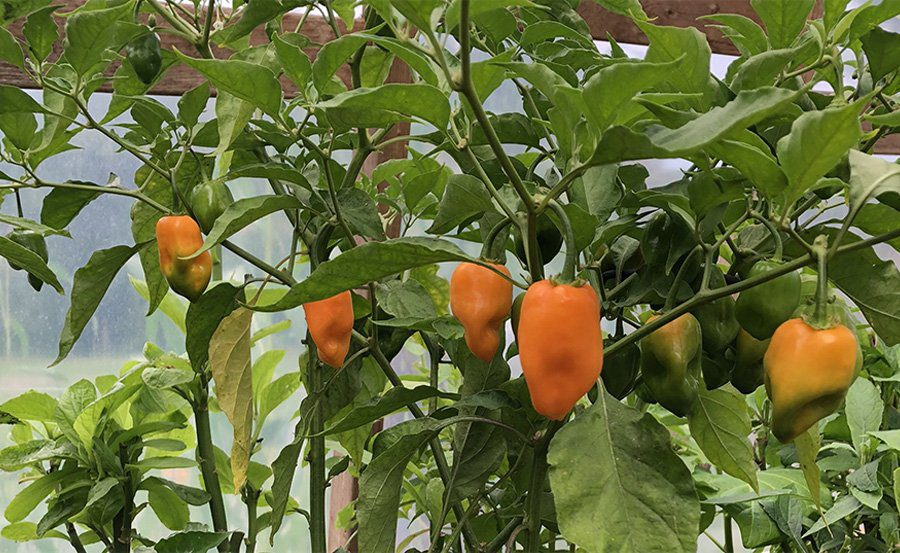 grow pepper