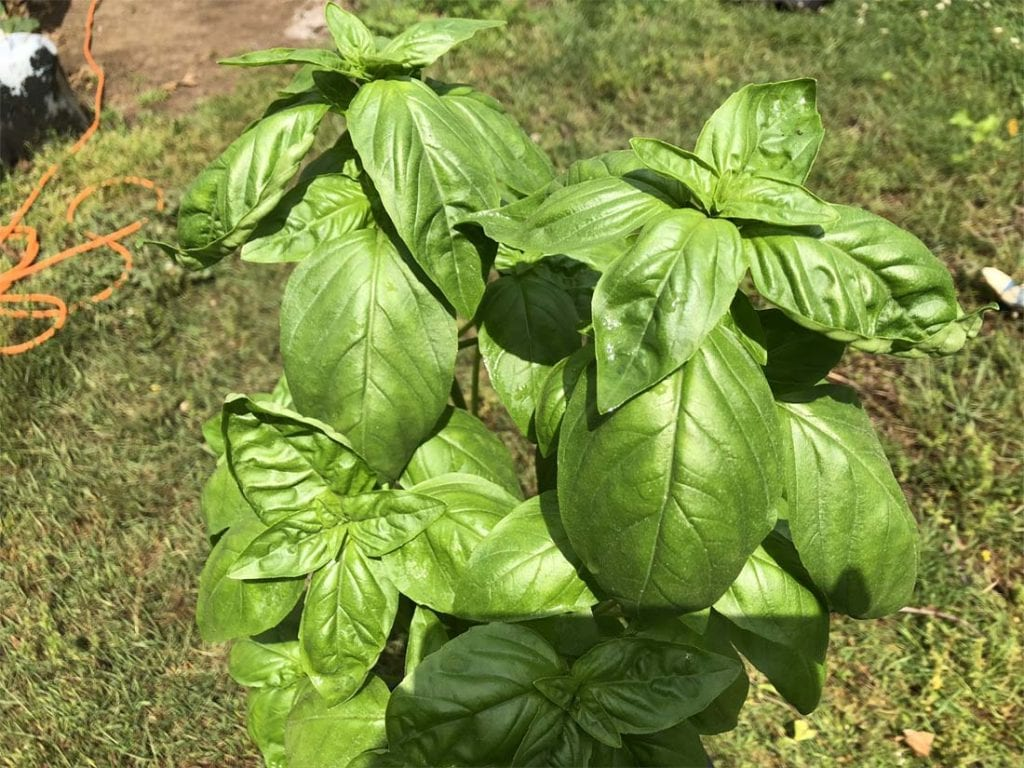 How to Plant basil in containers