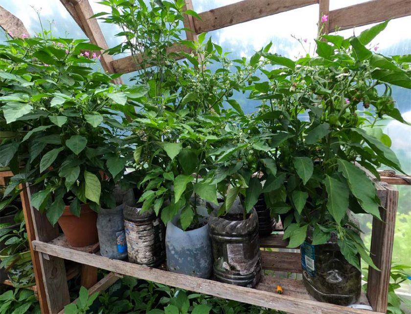 how to grow pepper