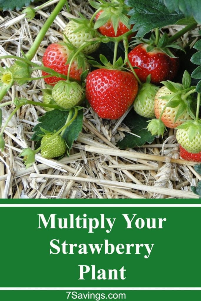 multiply strawberry plant