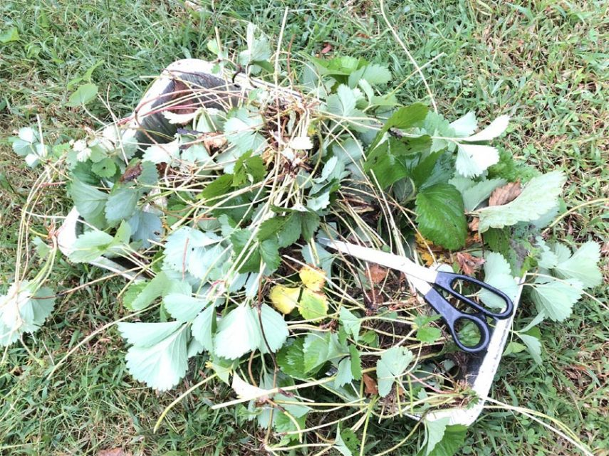 strawberry runners